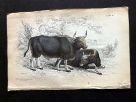 Jardine C1840 Antique Hand Col Print. Gayal or Silhet Cattle